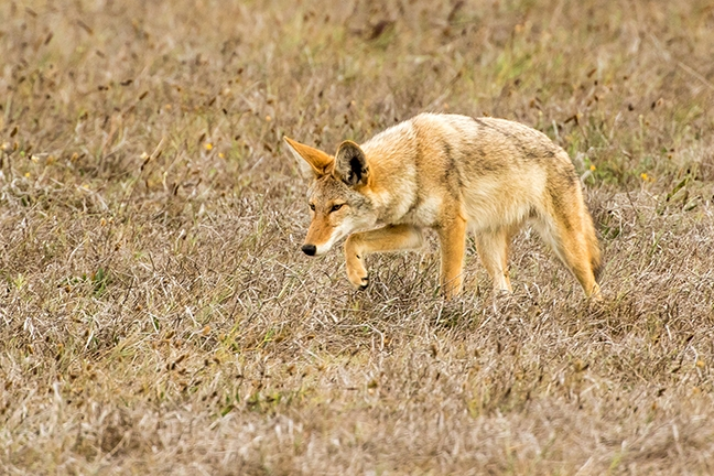 Image result for coyote on a deli